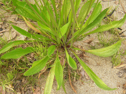 Lándzsás útifű - Plantago lanceolata
